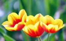郁金香 鲜花图片