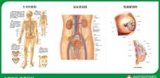 骨骼图 泌尿系统图 乳腺解剖图图片