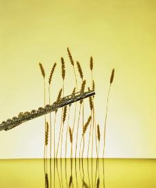 优扬的笛声伴着麦草的闲适感图片