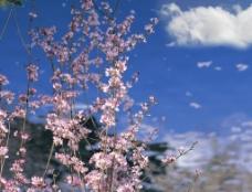 春天桃花圖片