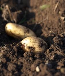 丰收的马铃薯图片