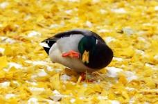 挠痒的绿头鸭图片