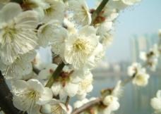 盛开的梨花图片