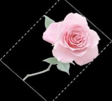 一枝玫瑰图片