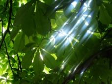 光芒 闪烁的阳光 大自然 大自然的阳光 树叶和光线图片