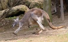 奔跑的袋鼠图片