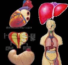 人体内脏图片