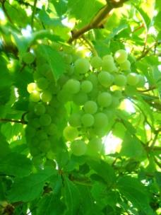 阳光下的葡萄树
