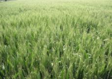 丰收的小麦田图片