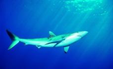 鲨鱼图片吃美人鱼