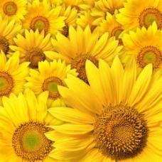 金黄向日葵