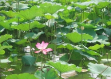 济南大明湖荷花图片