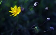 暗背景下的雏菊图片