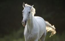 奔跑中的白马图片