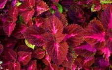 紫红色彩叶草图片