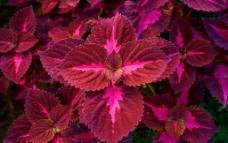 紫红彩叶草图片