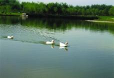 鸭在水中游图片