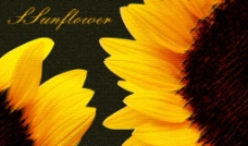 无框 向日葵 装饰挂画图片