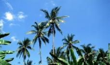 海岛椰树图片